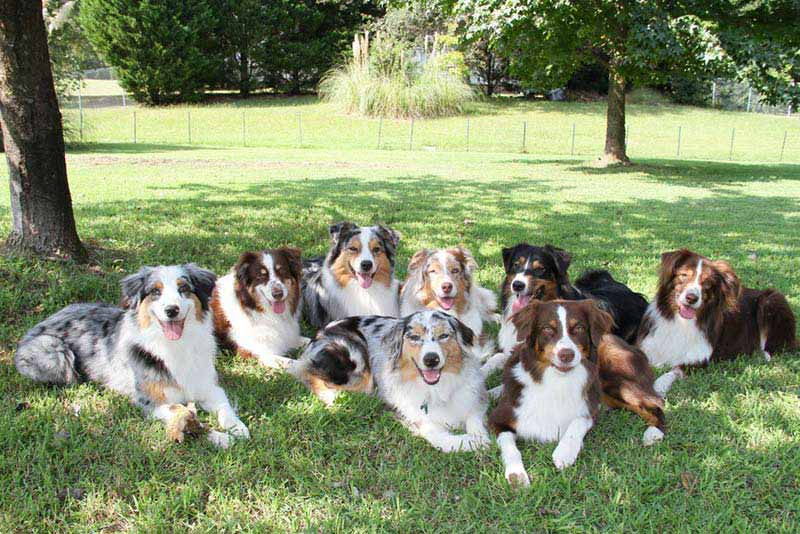 Australian Shepherd group
