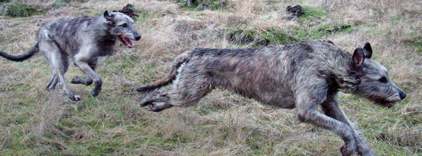 Two adult Wolfhounds