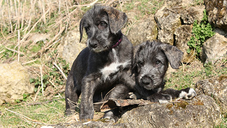 Raising An Irish Wolfhound Puppy