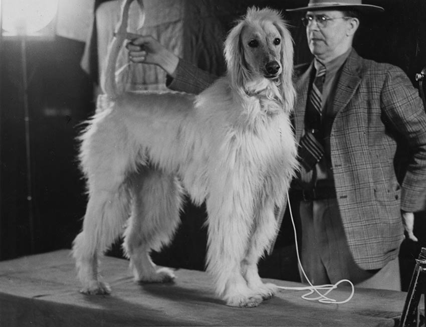Amanullah 1938 Best Afghan Hound in Show