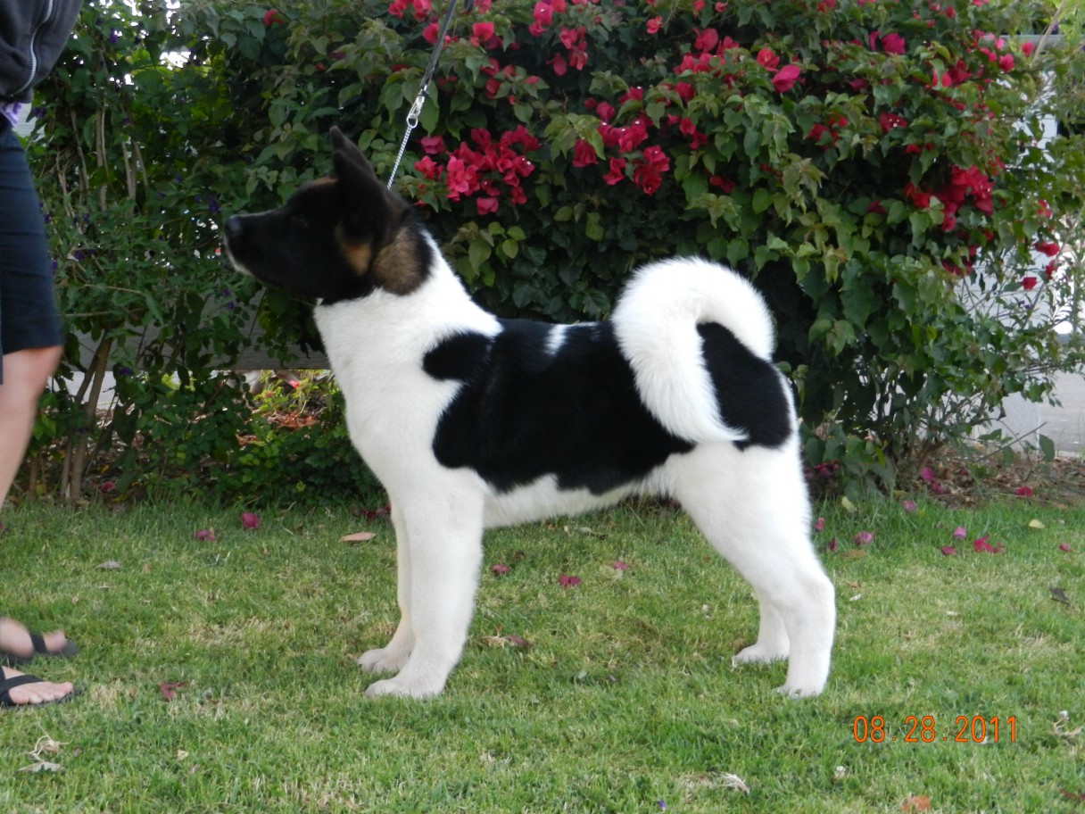 Pictures Of American Akita Dogs