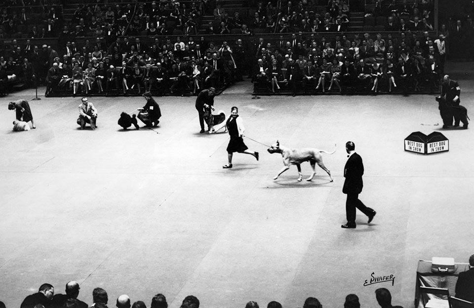 Basquette gaiting Best in Show Madison Square Garden
