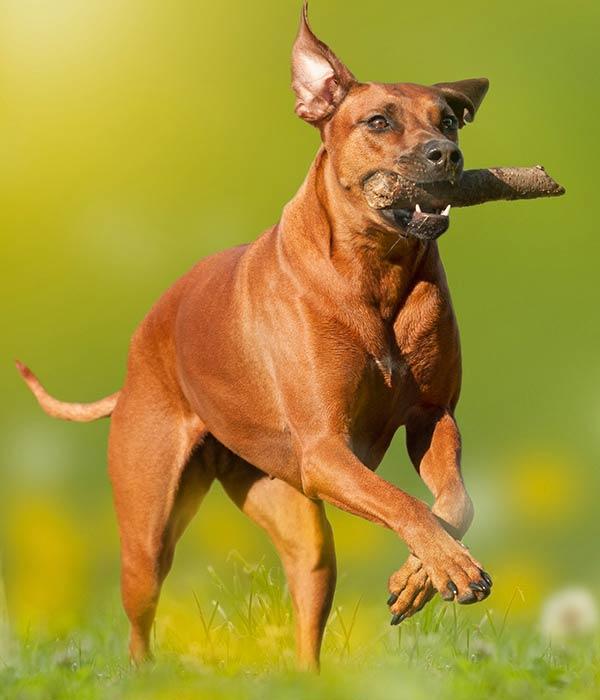 Who Put the Ridge in the Rhodesian Ridgeback? Running pup