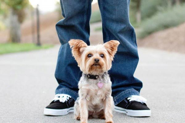 Yorkshire terrier i pet