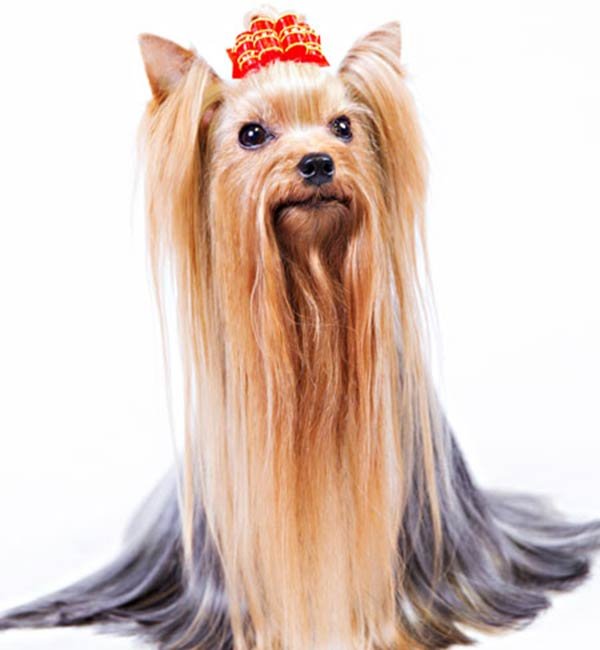 7 Things We Bet You Didnt Know About Yorkshire Terriers