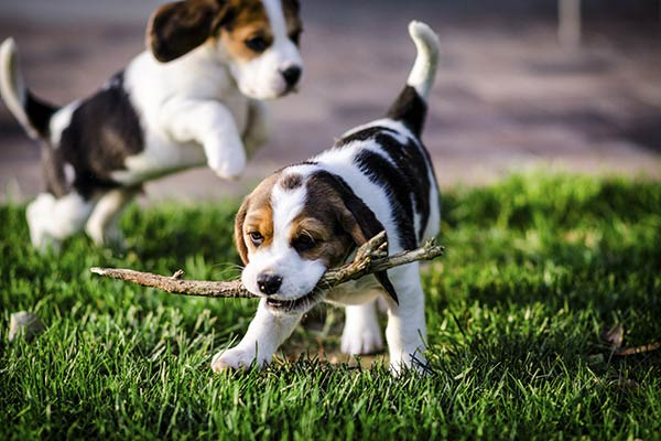 Puppy Socialization: Why, When, and How to Do It Right Puppies playing with a stick