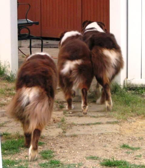 Australian Shepherd - wiggle