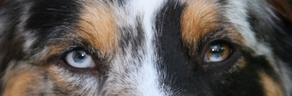 Australian Shepherd - eyes