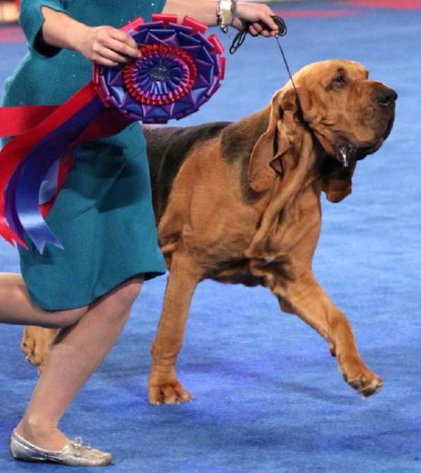 Best Bred-by-Exhibitor in 2014, a bloodhound named Nathan.