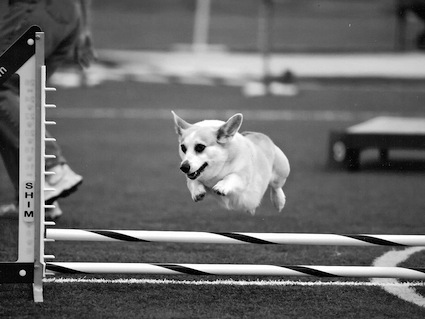 Welsh corgi jumping a hurdle