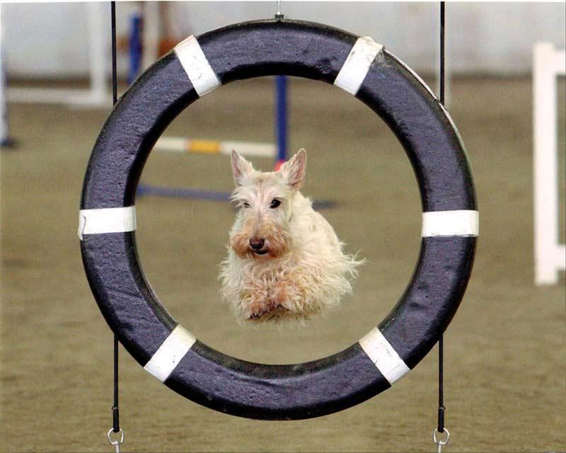 Scottie agility training.