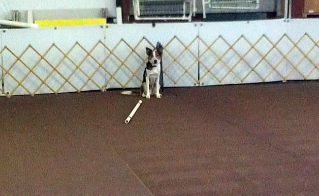 dog jump training