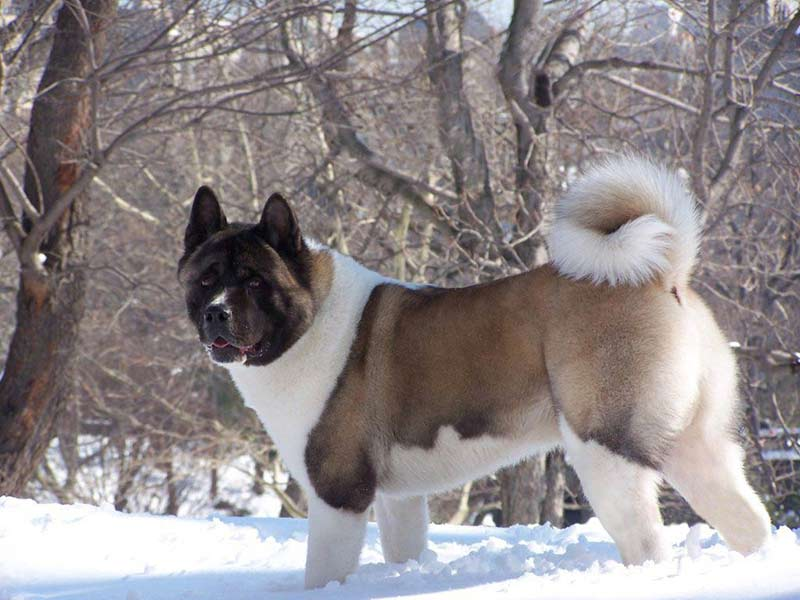 10 Surprising Facts About Akitas American Kennel Club