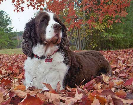 Autumn Dog English Springer Spaniel