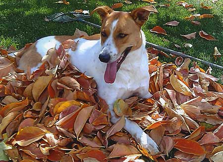 Autumn Dogs Raking leaves