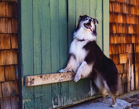 Autumn Dogs Australian Shepherd