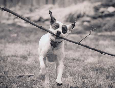 Autumn Dogs - running with stick