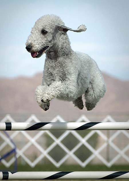 Bedlington Jumping