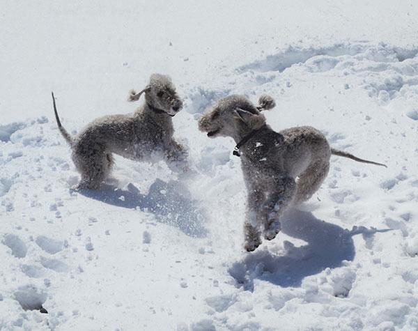 Bedlingtons Snow