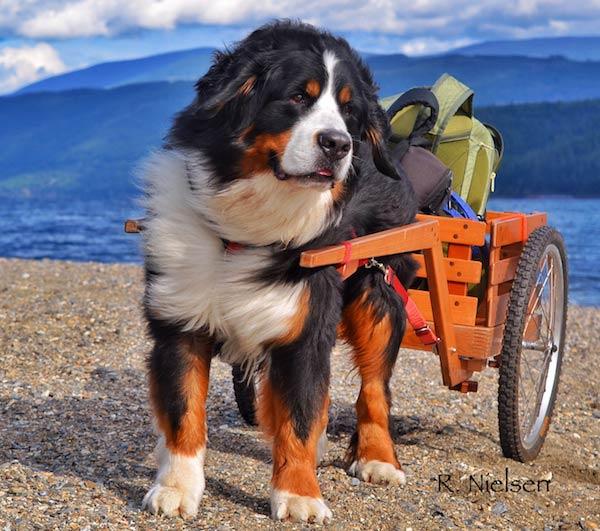 Bernese pulling carts
