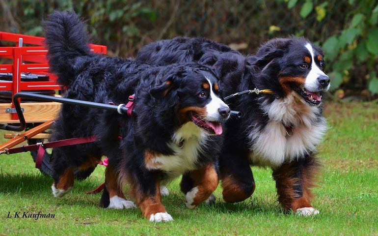 Why The Bernese Mountain Dog Is Truly An All Around Dog