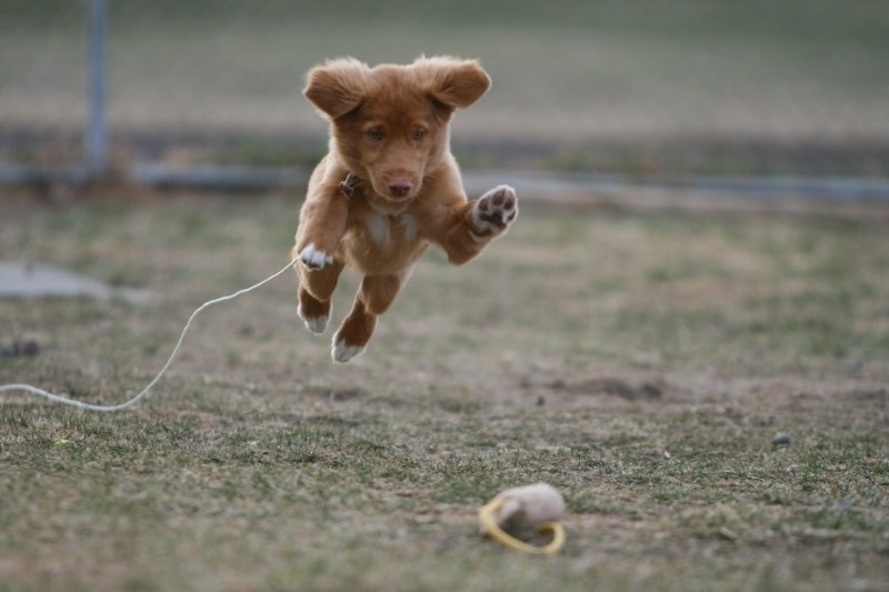 Motivated duck tolling retriever