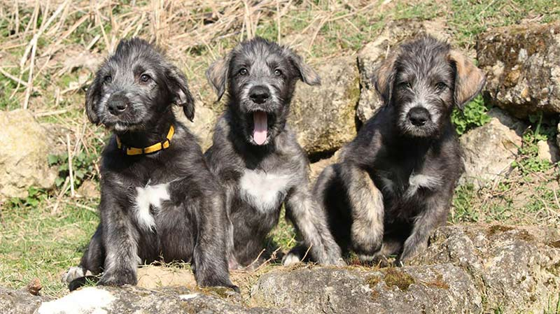 Living Large: Raising an Irish Wolfhound Puppy - American Kennel Club