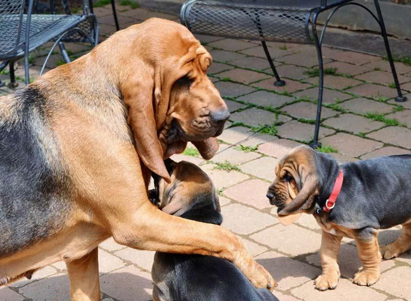 bloodhound hug 2