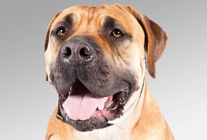 Boerboel 140th Westminster Kennel Club dog show