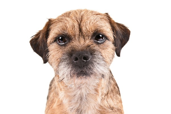 Border Terrier face