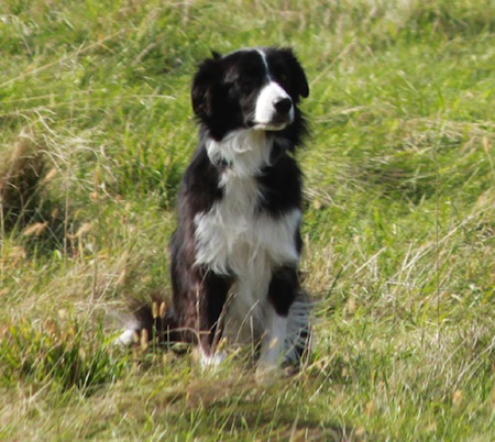 Border Collie in field