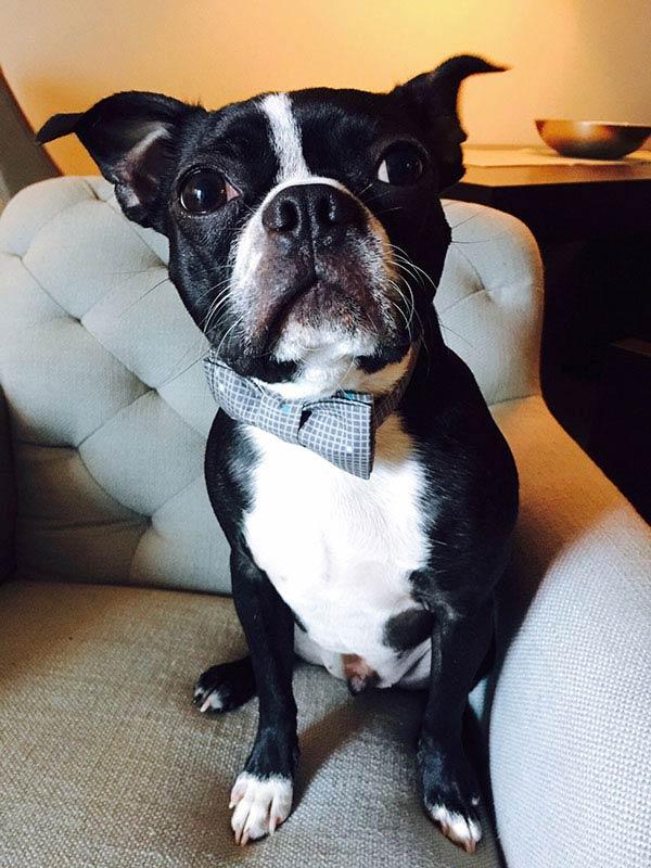 Allisa Thiemke Boston Terrier