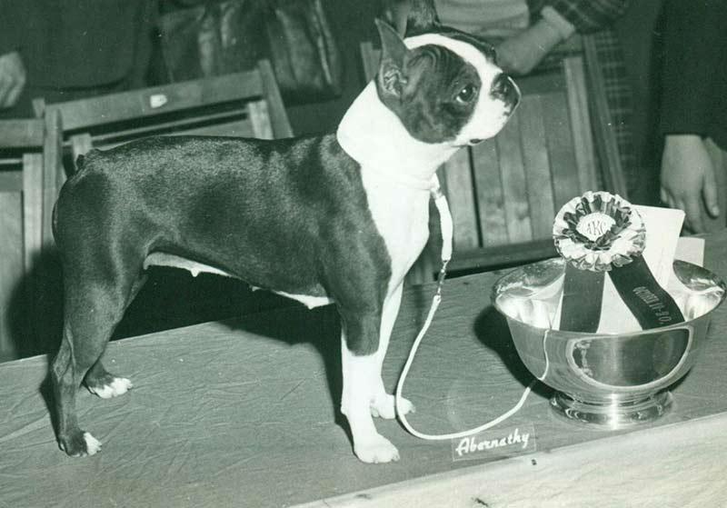 Boston Terrier History Amp Training Temperament American
