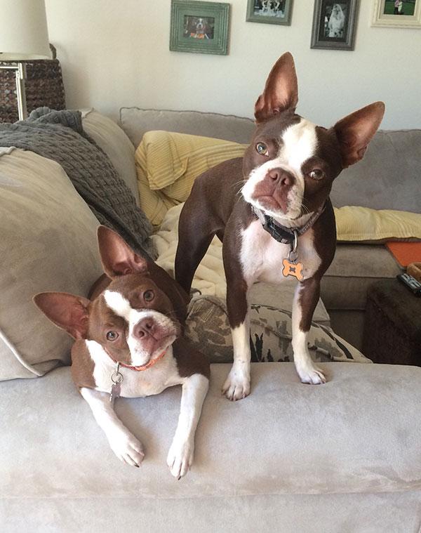 Boston Terriers Claire Burke