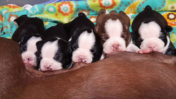 Boston Terrier Cherie Young