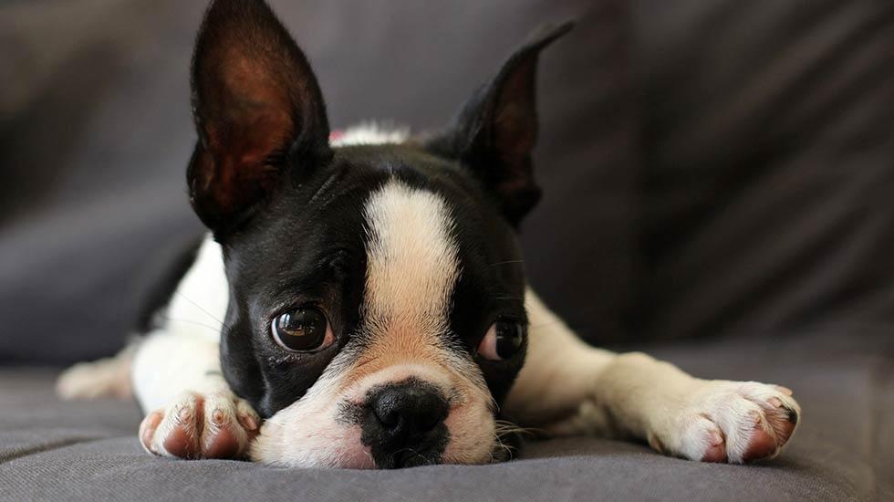 Boston Terrier Jeff Herbert