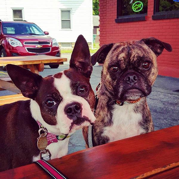 Boston Terrier Jenny Sanchez