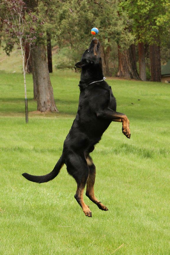 Jumping Beauceron