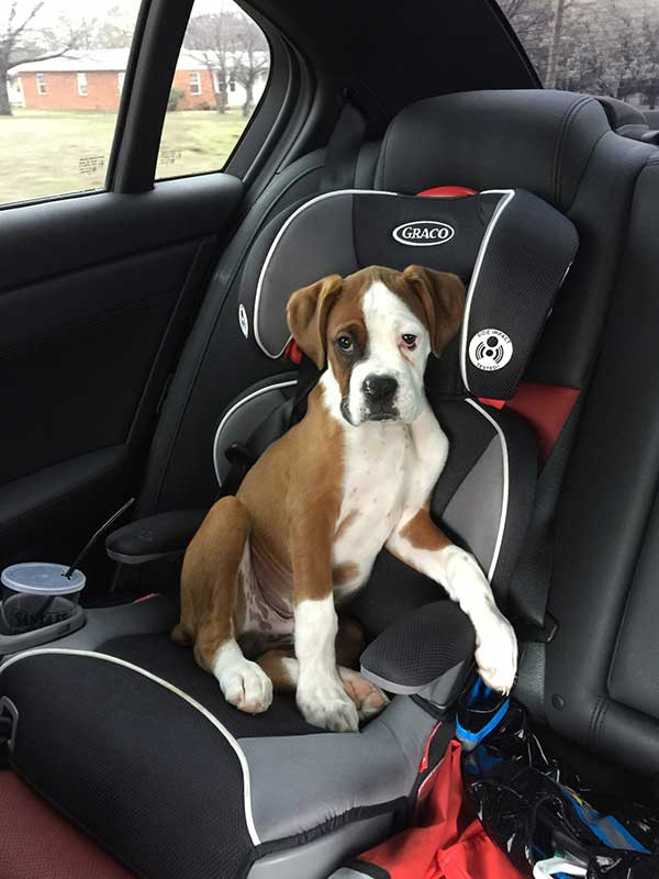 Boxer in carseat
