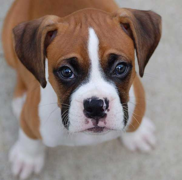 Heres Why Nothing Beats A Boxer As An Ideal Family Dog American