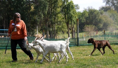 Herding Dogs Prove Their Skills at AKC Herding Tests and