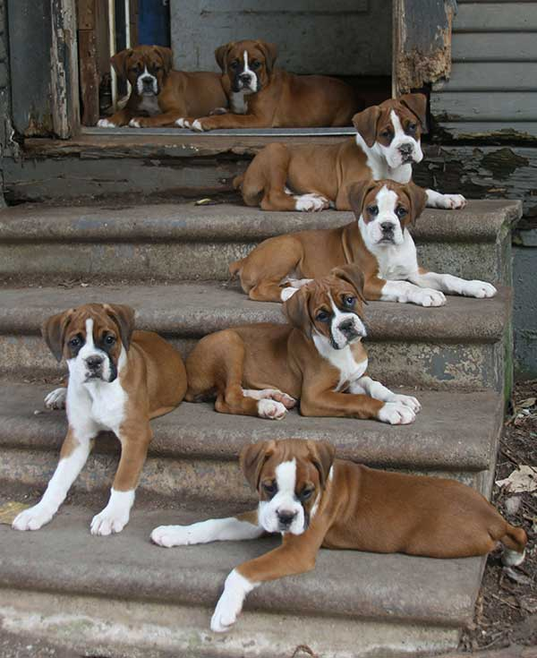 Boxer steps