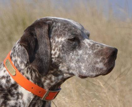 braque du bourbonnais dog breed information american