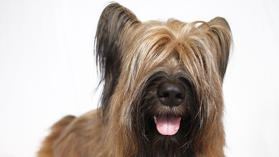 How The Briard Won Over Thomas Jefferson – American Kennel Club