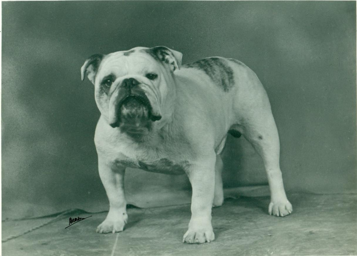 Bulldog History TrainingTemperament