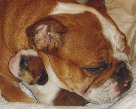 Bulldog Pup 1