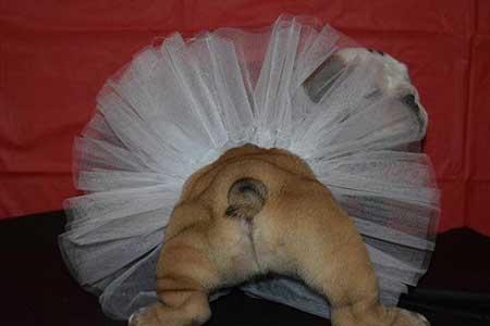 Bulldog pup 7