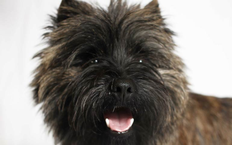 7 Facts We Bet You Didn T Know About The Cairn Terrier American Kennel Club