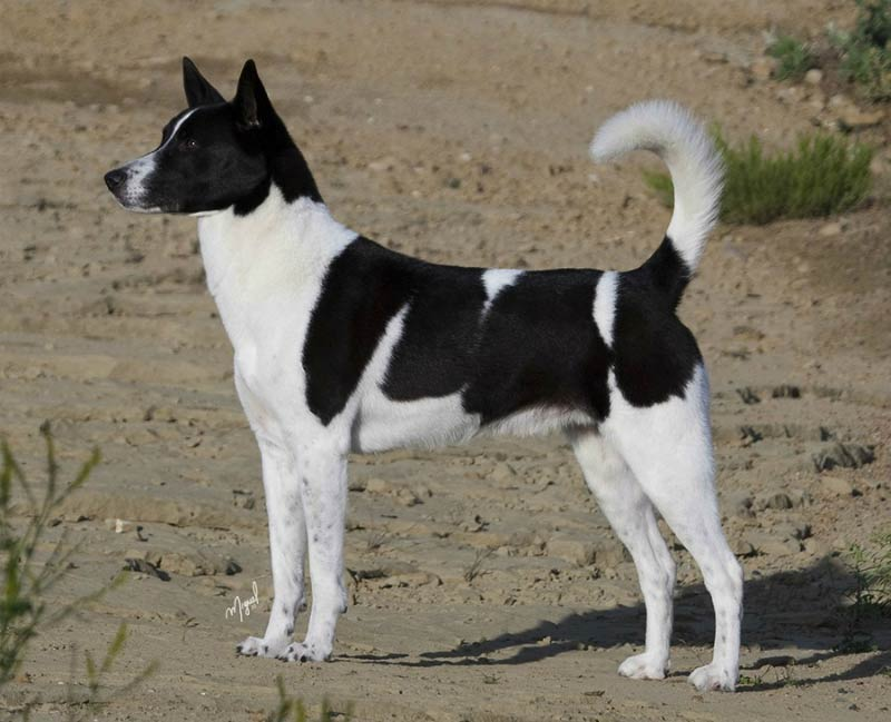 canaan dog magnum edit