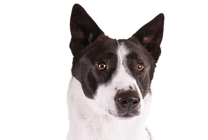 canaan dog head shot